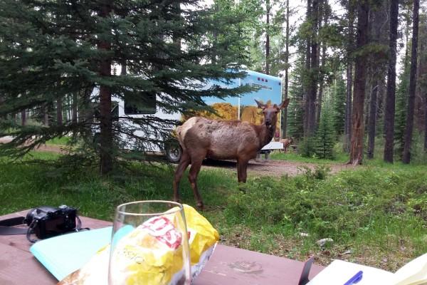 Jasper NP, Elk, rondreis West-Canada - opDroomreis.nu