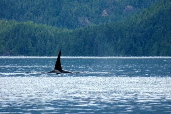 Vancouver Island, Campbell River, whale watching tour, rondreis West-Canada - opDroomreis.nu