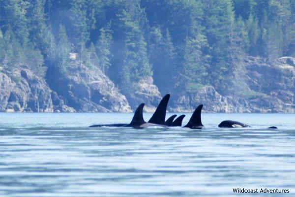 Vancouver Island, Orca Camp, orka's, rondreis West-Canada - opDroomreis.nu