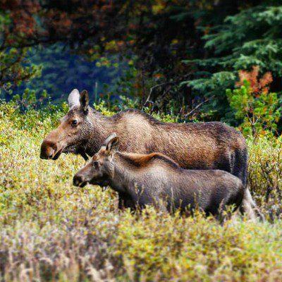 Jasper NP, elanden, rondreis West-Canada - opDroomreis.nu