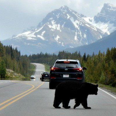 Zwarte beer, rondreis West-Canada - opDroomreis.nu