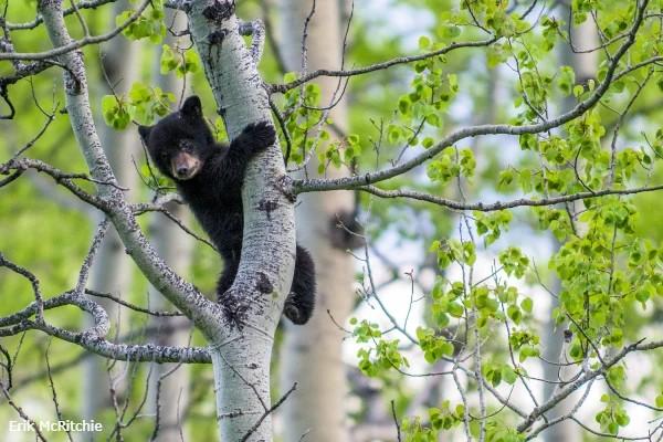 Alberta, baby bear in tree - rondreis West-Canada, opDroomreis.nu