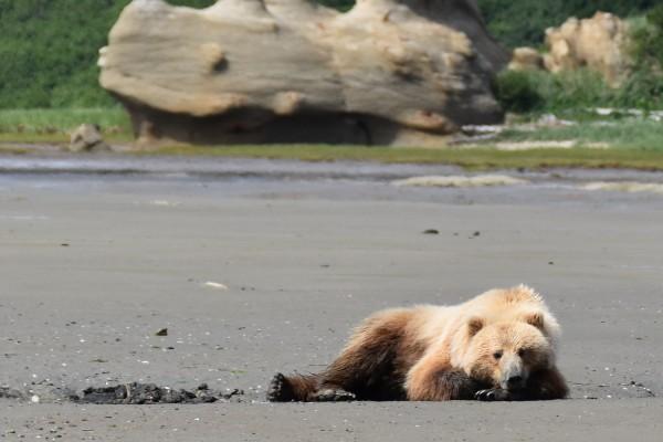 Katmai NP, beer   Reisverhalen Alaska   lees ervaringen van anderen   opDroomreis.nu