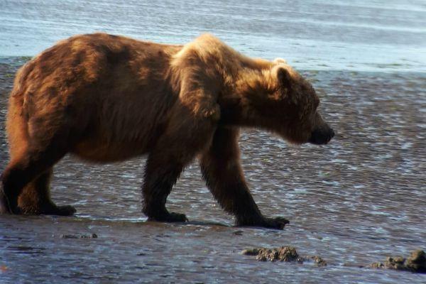 Lake Clark NP beer   Reisverhalen Alaska   lees ervaringen van anderen   opDroomreis.nu