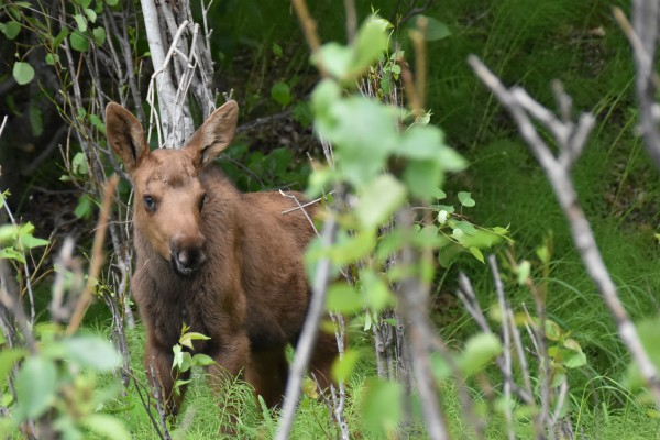 Moose kalf   Reisverhalen Alaska   lees ervaringen van anderen   opDroomreis.nu