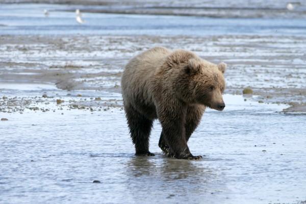 Katmai NP, Mama Bear, rondreis Alaska en Yukon - opDroomreis.nu