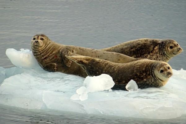 Zeehonden op ijsschots   Reisverhalen Alaska   lees ervaringen van anderen   opDroomreis.nu
