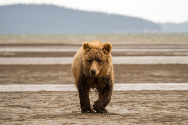 Alaska, Brown Bear hunting for fish, rondreis Alaska en Yukon - opDroomreis.nu