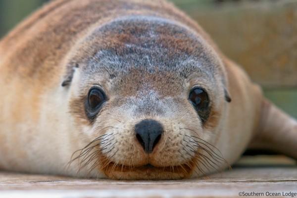Kangaroo Island, Sealion - rondreis Australië, opDroomreis.nu
