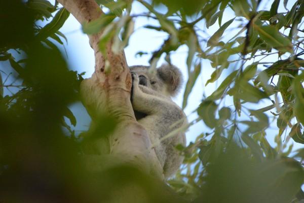 Magnetic Island, koala - rondreis Australië, opDroomreis.nu