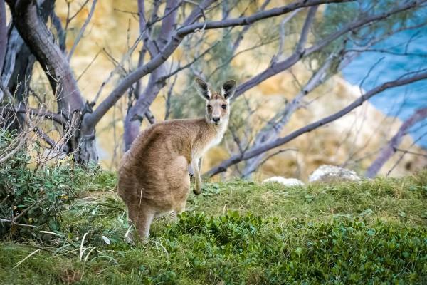 North Stradbroke Island, kangoeroe - rondreis Australië, opDroomreis.nu (1)
