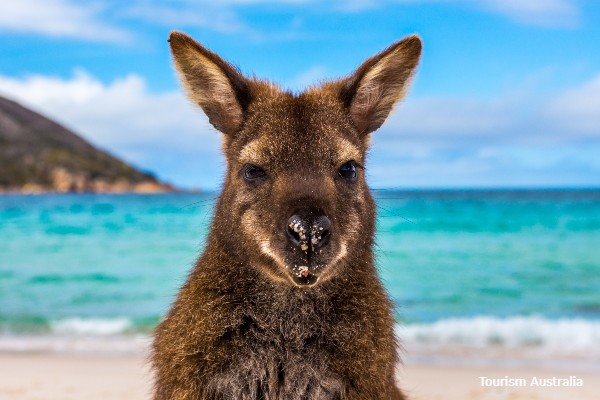 Freycinet NP, Wineglass Bay Beach, kangoeroe - rondreis Australië, opDroomreis.nu