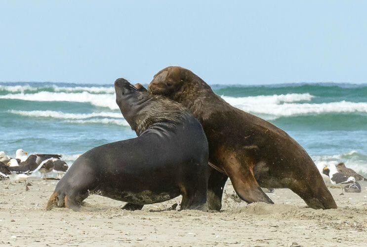 The Catlins, zeeleeuwen, rondreis Nieuw-Zeeland - opDroomreis.nu